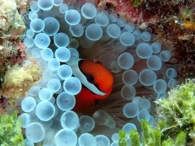 石垣島 体験ダイビング 海 クマノミ