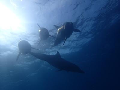 石垣島 イルカ ダイビング