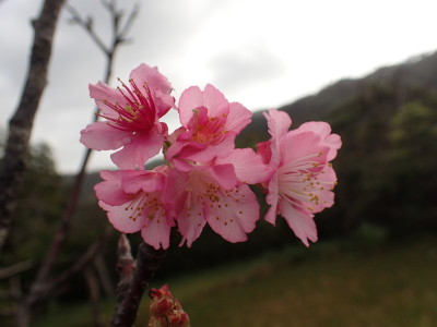 緋寒桜 石垣島