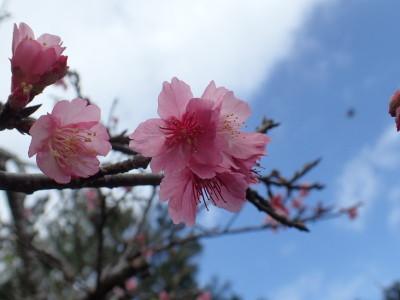 石垣島 緋寒桜