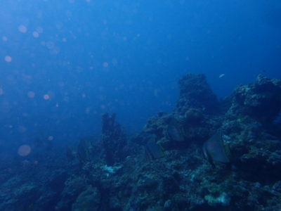 石垣島 ダイビング 群れ 海 魚