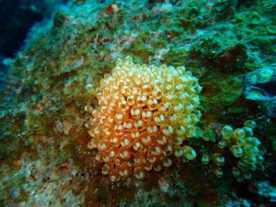 石垣島 ウルトラマンホヤ 海 ダイビング 水中写真
