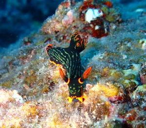 石垣島 ダイビング アカフチリュウグウウミウシ