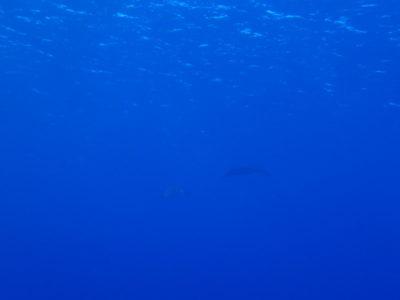 黒島 マンタ カメ ダイビング 海