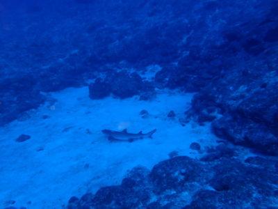 黒島 サメ ダイビング ホワイトチップ 海