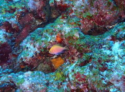 黒島 ハナゴンベ 幼魚 ダイビング 海