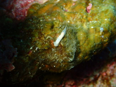黒島 ウミウシ 海 ダイビング スカシキヌハダウミウシ