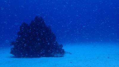 竹富島 ダイビング 海 スカシテンジクダイ サンゴ 砂地