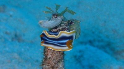 竹富島 ダイビング 砂地 ウミウシ