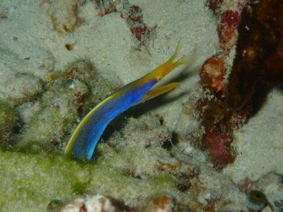 竹富島 ダイビング 海 ハナヒゲウツボ
