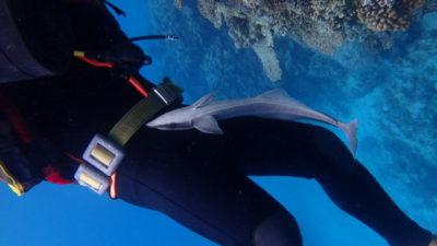 石垣島 体験ダイビング コバンザメ 家族旅行