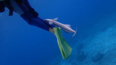 石垣島 体験ダイビング 家族旅行 コバンザメ