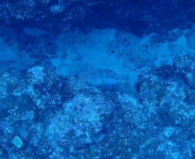 黒島 ダイビング ナポレオン