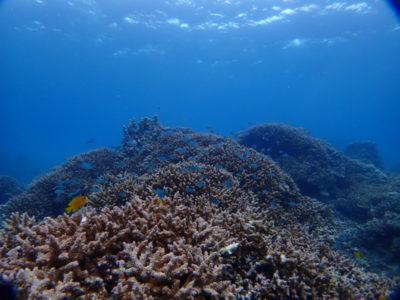 石垣島 サンゴ